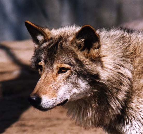 Волки и кошки. хищные: семейства собачьи (волчьи) и кошачьи.